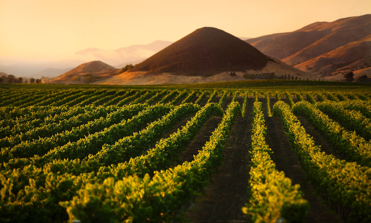 Edna Valley vineyard with hills bathed in sunset light in background